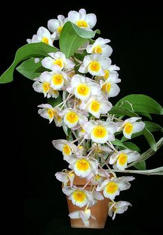 Dendrobium farmeri by David in SWGA, via Flickr