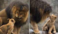 Papa lion meets baby cubs for the first time
