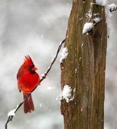 Birds in snow #cardinals #lovethebirds