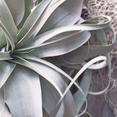 So much beauty. So many varieties. #tillandsias #airplant #rollinggreens #summer