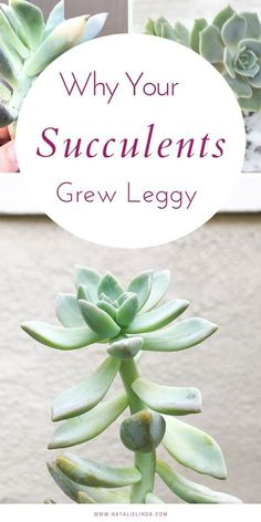 Why Your Succulents Grew Leggy If your succulents are losing their shape, there's a reason why. Learn how you can prevent your succulents from losing their tight, compact shape plus get some propagation tips! Cactus House Plants, House Plants Decor, Plant Decor, Garden Plants, Indoor Plants, Indoor Cactus, Indoor Water Garden, Indoor Herbs, Orchids Garden