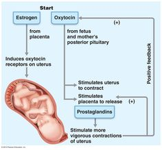 stages of labor hormone - Google Search Stages Of Labor, Pregnancy Help, Ob Nursing, Classroom Tools, Reproductive System, Never Stop Learning, Natural Birth, Midwifery, Doula