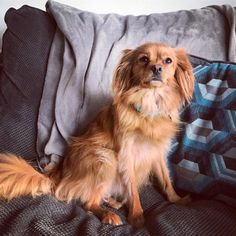 Cute Pomeranian mix dogs are the favorite choice of pets, and there are so many of these mixed breeds to choose so with this article, your search will be a lot easier. Spaniel Breeds, Spaniel Puppies, Dog Breeds, King Charles Spaniel, Cavalier King Charles, Dog Competitions, Cute Pomeranian, Dog Photography, Doge