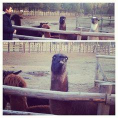 17 Times Llamas Were Majestic Alpacas, Funny Animal Pictures, Cute Funny Animals, Animal Pics, Llama Face, Funny Llama, Llama Alpaca, Daily Funny, Camels