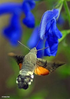 a Hummingbird Hawk Moth feeding from a Salvia plant in a sunny part of the garden.  Hummingbird Hawk Moths beat their wings  at such speed they emit an audible hum. Their name is further derived from their similar feeding patterns to Hummingbirds. They're found in Britain all summer long, especially in southern counties such as Dorset.