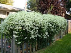 Sweet Autumn Clematis- Doesn't mind some shade, blooms later than most Clematis, and blooms smell like honey