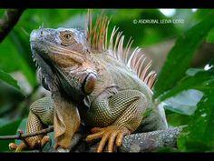 ▶ iguana song- jaja - YouTube