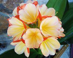 2 AMARYLLIS USA CLIVIA SEEDS JAPANESE HATTORI MARGARITA X HATTORI MONALISA | eBay Exotic Flowers, Margarita, Seeds, Rose, Plants, Garden, Lilies, Pink, Roses