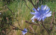 Blaue Wiesenblume: Gemeine Wegwarte © Lars O Larsson
