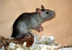 Control de Plagas: La Rata de Alcantarilla