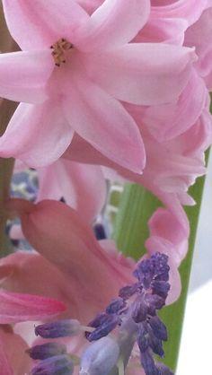Rose Hyacint