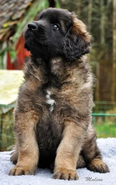 If you do not have a Leonberger in your life...I feel sorry for you.