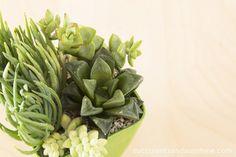 Green Succulents Indoors