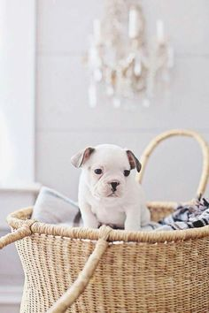 Baby Puppies, Bulldog Puppies, Dogs And Puppies, Doggies, Silly Dogs, Cute Dogs, Animals And Pets, Cute Animals, Family Dogs