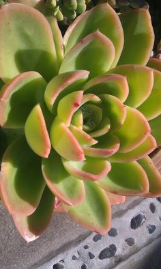 Echeveria yamatoren .... mine is in full sun and it doesn't mind if I forget to water it.