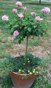How to Care for a Rose Tree thumbnail Lovely, just lovely. Wish I could keep flowers alive!