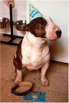 #BullTerrier Birthday Boy #English #Bull #Terrier #Dog #FunnyPhoto #FunnyDog #Dogs #Bullie
