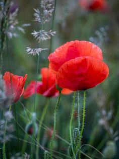 Poppy composition -by edithnero