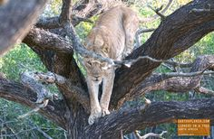 Have you ever seen a Lioness in a Tree? — earthXplorer adventure travel photography