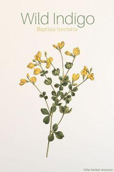 - Wild Indigo Uses and Benefits as a Medicinal Herb same Baptisia tinctoria – Wild Indigo. A special value to native bees. Herbal Plants, Medicinal Plants, Healing Herbs, Natural Healing, Natural Medicine, Herbal Medicine, Wild Indigo, Indigo Plant, Missouri Botanical Garden