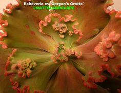 Echeveria cv 'Gordon's Grotto'  grow it! @ Epicacti.com