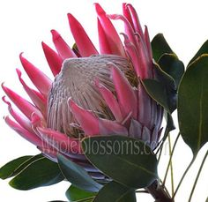 Buy Bulk order Whole Blossoms Wholesale Flowers offers Order King Protea Flower for Bulk Sale to rejoice Mother's Day & other special events. Allium Flowers, Protea Flower, Ranunculus Flowers, Red Flowers, Flowers For Sale, Flowers Online, Wholesale Roses, Buy Wholesale, Peonies Delivery