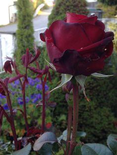 """Sent på kvelden idag er rosen """"Ingrid Bergman"""" såvidt begynt å springe ut - den er rett og slett vakker!! - Late in the evening today the rose """"Ingrid Bergman"""" is showing her wonderful flower - just stunning !! My own garden IJ 1.7.14"""