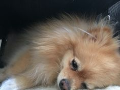Dog tired! #pomeranian