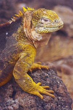 Galapagos Land Iguana (Vulnerable, Between 5,000 And 10,000 Land Iguanas Are Found In The Galapagos)