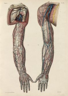 Nicolas Henri Jacob - Illustration for Traité complet de l'anatomie de l'homme comprenant la médecine opératoire (1831-1854  pinterest.com/pin/287386019941966857/) by Jean-Baptiste Marc Bourgery. Superficial veins of the axilla and arm.