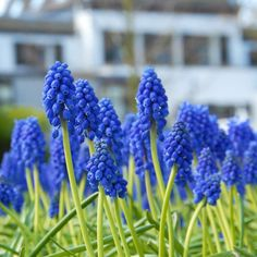 Muscari armeniacum - Die blaue Traubenhyazinthe ist eine fröhliche, fast schon überschwängliche Zwiebelblume. Pflanzzeit ist im Herbst - online erhältlich bei www.fluwel.de