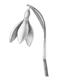 "Snowdrop tattoo - ""birth flower"" for January Pencil Drawings Of Flowers, Flower Sketches, Pencil Art Drawings, Cartoon Drawings, Art Sketches, Botanical Drawings, Botanical Art, Botanical Illustration, January Birth Flowers"
