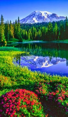 Mt Rainier and red heather at Reflection Lakes in Mount Rainier National Park, Washington
