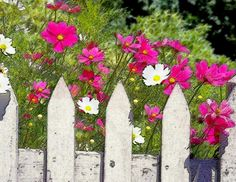 Pink Cosmos Flowers And White Picket Fence Painting - Pink Cosmos Flowers And White Picket Fence Fine Art Print Cosmos Flowers, Spring Into Action, Garden Angels, White Picket Fence, Rooftop Garden, Garden Gates, Front Yard Landscaping, Landscape Design, Watercolor Art