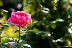 写真 バラ 202001 梅雨が開けたらメチャ暑い。(^_^;A My Works, Plants, Flora, Plant