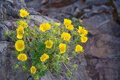 Potentilla Villosa- alpine cinquefoil   beneficial