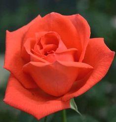 Beautiful Rose Flowers, Pretty Roses, Orange Roses, Pink Roses, My Flower, Flower Power, Rose Reference, Rosa Rose, Rose Of Sharon