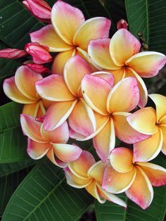 Jungle Jacks Thailand | Plumerias 'California Sunset'