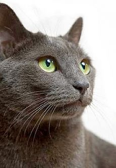 Health Problems in Russian Blue Cats - Annie Many