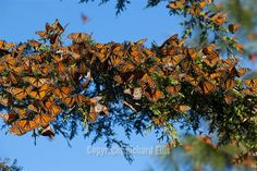 Each year hundreds of millions of monarch butterflies head south to Central Mexico for the winter.  -- One day I will make it there to see them. (For you mom)