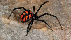 Top Ten Dangerous Spiders of the World Spider Species, Spiders And Snakes, Scary Spiders, Black Widow Spider, Cool Bugs, Itsy Bitsy Spider, Beautiful Bugs, Bugs And Insects, Tier Fotos