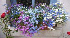 Fotos von euren Fensterbank-Blumenkästen - Seite 1 - Terrasse & Balkon - Mein schöner Garten online
