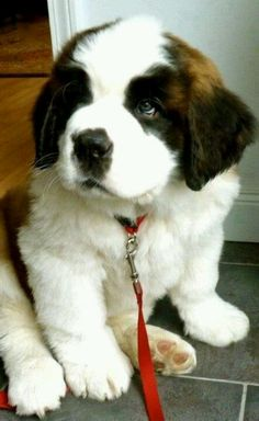 Saint Bernard puppy they're so cute when their little. i have 2 Saint Bernard puppies just like that Cute Puppies, Cute Dogs, Dogs And Puppies, Doggies, Puppies Puppies, Beagle Pups, Newborn Puppies, Mastiff Puppies, Dogs 101