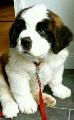 Saint Bernard Dogs 101 >>> http://tipsfordogs.info/90dogtrainingtips/