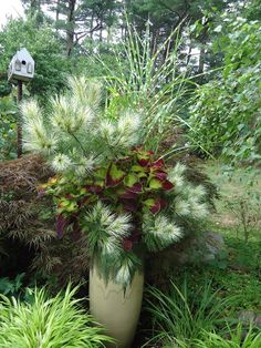 WOW! What a beautiful container! Moira McQuarrie of Ivy and Olives, a retailer in Hanson, MA, created this award winning container for Fine Gardening Magazine's Container Design Challenge, it received 1st place! IN THE CONTAINER 1) Dragon's Eye Black Pine 2) Dipt in Wine Coleus 3) Porcupine Grass