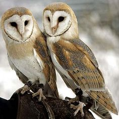 Interesting Barn Owl facts for kids and adults. We showcase the facts about diet, habitat and lifestyle and characteristics of these precious birds.