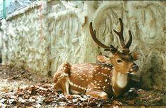 Sika Deer, Spotted Deer Buck