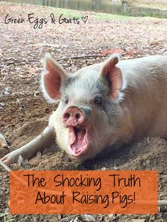 The Shocking Truth About Raising Pigs!   http://www.greeneggsandgoats.com/2014/12/shocking-truth-raising-pigs.html#sthash.3qBjVQpz.dpbs