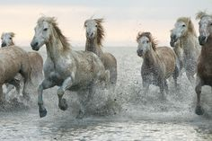 Camargue Wild Horses of France