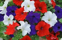 Do you know the name of these Red, White and Blue Flowers?